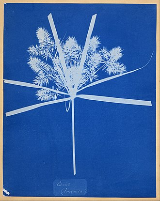 Abstract photography - Anna Atkins – Carex (America) – Google Art Project