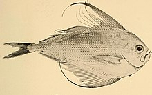 Annals of the South African Museum - Pterycombus falcatus.jpg