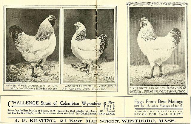Columbian Wyandotte Chickens in 1909
