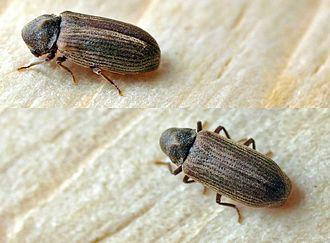 Common furniture beetle - Image: Anobium punctatum 01