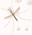 Anopheles claviger adult John Curtis British Entomology 210.png