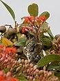 Anthochaera chrysoptera 3.jpg