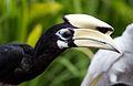 Anthracoceros albirostris -Kuala Lumpur Bird Park, Malaysia-8a.jpg