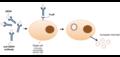 Antibody-dependent enhancement (ADE).png