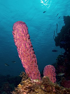 Aplysina archeri (Stove-pipe Sponge-pink variation)