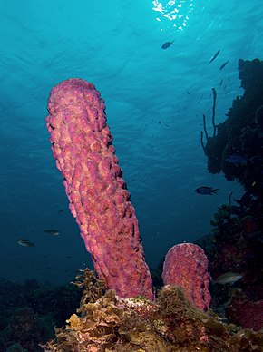 Description de l'image Aplysina archeri (Stove-pipe Sponge-pink variation).jpg.