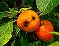 Apples - Flickr - Stiller Beobachter.jpg