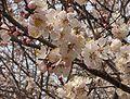 Apricot tree flower.jpg