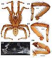 Aptostichus serrano anatomy.jpg