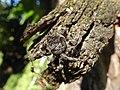 Araneus angulatus Albiano 02.jpg