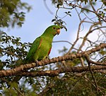 A green parrot with red shoulders and white eye-spots