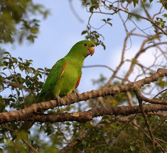 Ficheiro:Aratinga leucophthalma -Piraju -Brazil-8.jpg