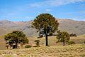 Araucaria araucana, Zainuco, Neuquen, Argentina.jpg
