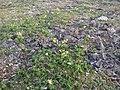 Arctic's flowers - panoramio.jpg