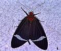 Arctiid Moth (Caryatis hersilia) (7832814032).jpg