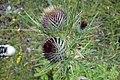 Arctium lappa, Asteraceae 02.jpg