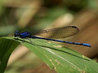 Argiinae subfamily of insects