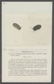 Armadillo opacus - - Print - Iconographia Zoologica - Special Collections University of Amsterdam - UBAINV0274 098 09 0019.tif