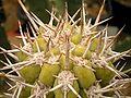 Armatocereus matucanensis 02 ies.jpg