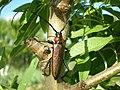 Aromia moschata ssp. ambrosiaca.jpg