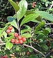 Aronia arbutifolia 1zz.jpg