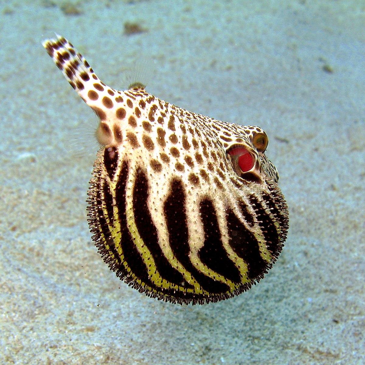 Tetraodontidae wikipedia for Pesce palla immagini
