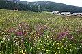 Arvieux, prairies fleuries - img 43321.jpg