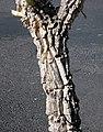 Asclepias erosa stem.jpg