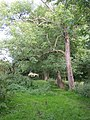 Ash Trees alongside Whitaker Pits Wood, Clifton - geograph.org.uk - 531855.jpg