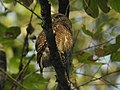 Asian Barred owlet2.jpg