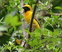 Asian Golden Weaver (Ploceus hypoxanthus) - male