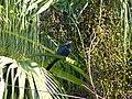 Asian Koel - Eudynamys scolopaceus - P1090236.jpg