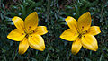 Asiatic hybrid lilium stereogram.jpg