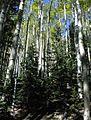Aspen trees grove.jpg