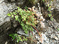 Astilbe macroflora.jpg