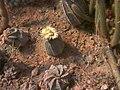 Astrophytum asterias (hybrid).jpg