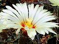 Astrophytum flower 341.jpg