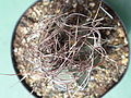 Astrophytum senile 8.JPG