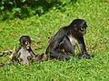 Atelidae - Ateles geoffroyi (Spider Monkey).jpg