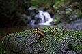 Atelopus certus in its natural setting.jpg