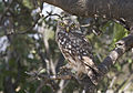 Athene noctua - Little owl 03.jpg