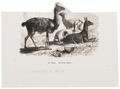 Auchenia lama - 1700-1880 - Print - Iconographia Zoologica - Special Collections University of Amsterdam - UBA01 IZ21600101.tif