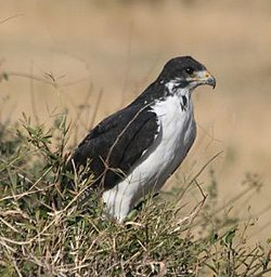 Augur buzzard cropped.jpg