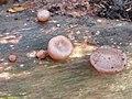 Auricularia auricula-judae 110859595.jpg