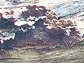 Auricularia mesenterica 111337371.jpg