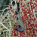 Australasian Figbird.jpg