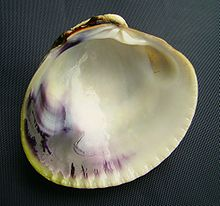 Austrovenus stutchburyi (tuangi cockle) inside.JPG