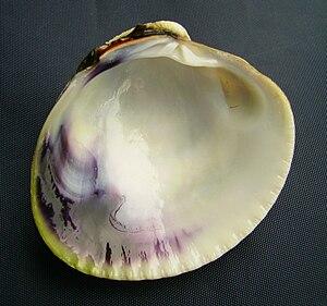 Austrovenus stutchburyi - Image: Austrovenus stutchburyi (tuangi cockle) inside