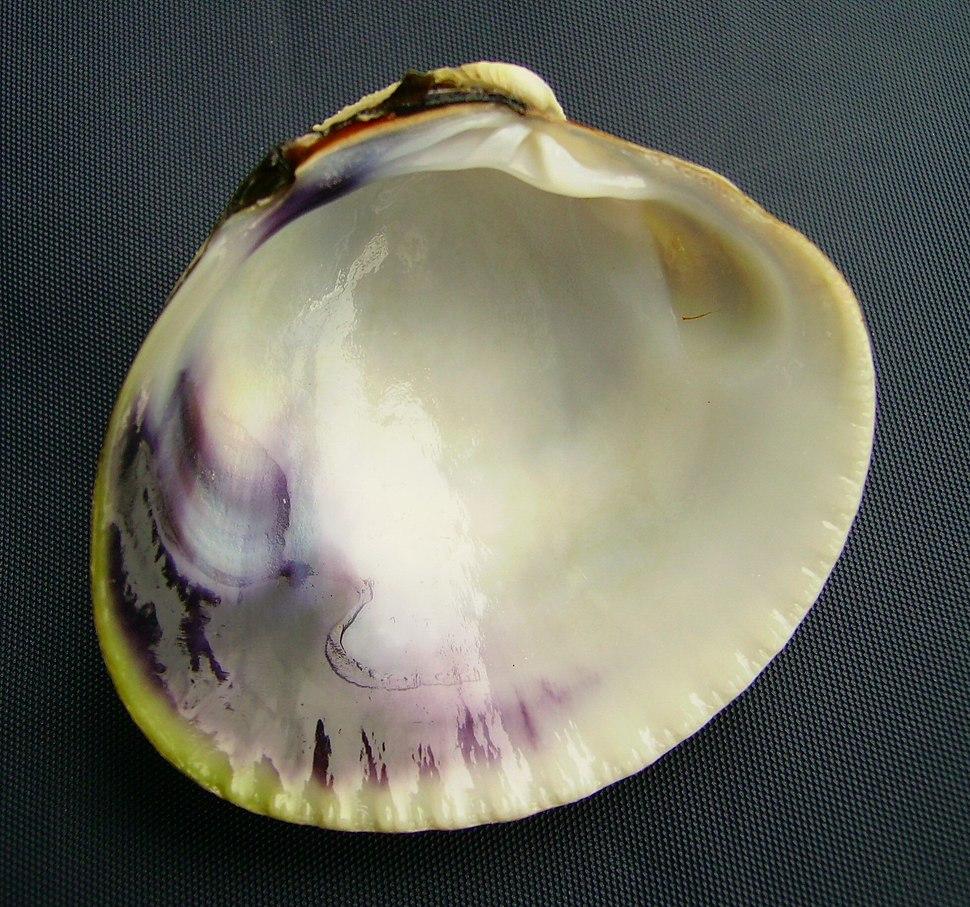 Austrovenus stutchburyi (tuangi cockle) inside