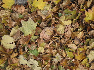 English: Dried and colored leaves on Ringstraß...